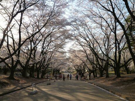 稲荷山公園の桜4.jpg