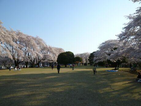 稲荷山公園の桜5.jpg