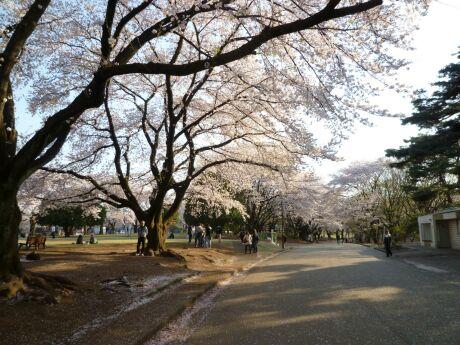 稲荷山公園の桜6.jpg