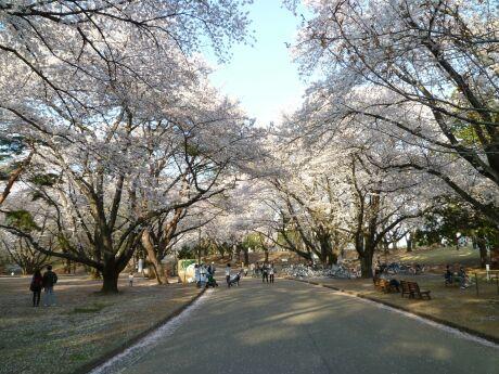 稲荷山公園の桜1.jpg