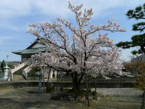 立政寺 杖桜.jpg