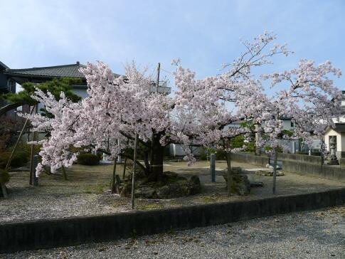 立政寺 杖桜2.jpg