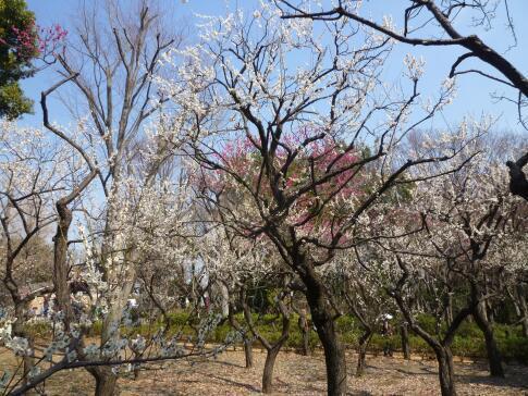 羽根木公園の梅2.jpg
