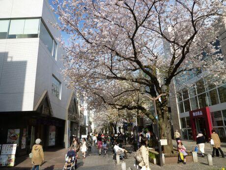 自由が丘の桜.jpg