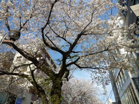 自由が丘の桜4.jpg