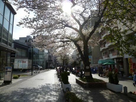 自由が丘の桜5.jpg