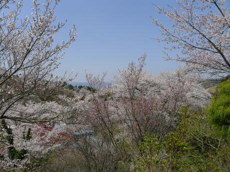 花見山3.jpg