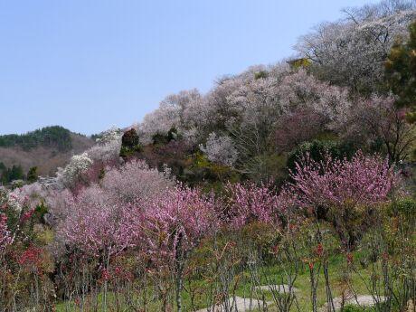 花見山6.jpg