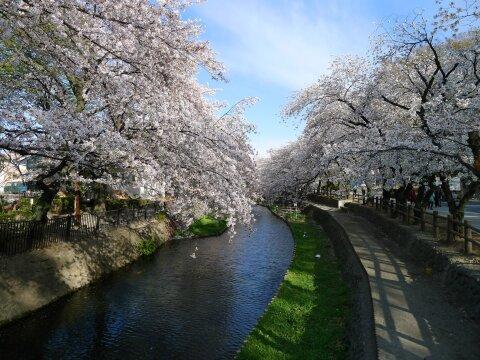 若泉公園の桜2.jpg