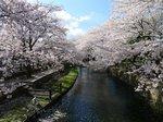 若泉公園の桜  大.jpg