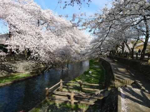 若泉公園の桜3.jpg