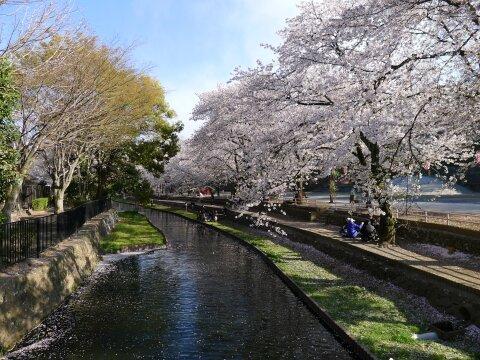 若泉公園の桜4.jpg