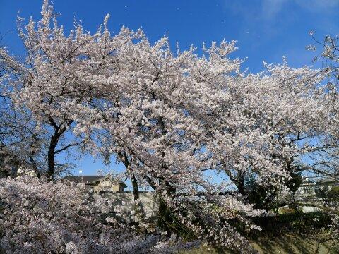 若泉公園の桜5.jpg