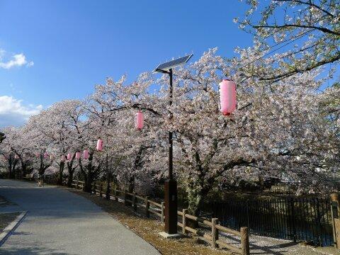 若泉公園の桜6.jpg