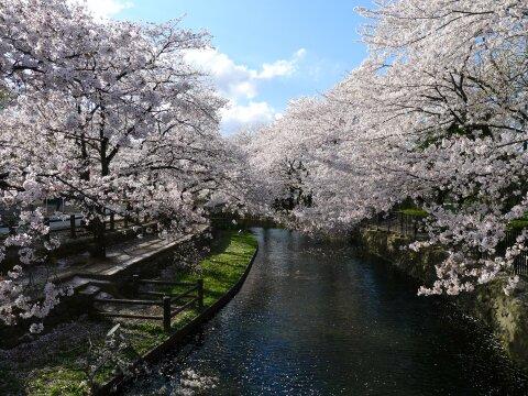 若泉公園の桜7.jpg