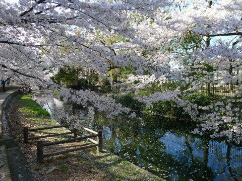 若泉公園の桜8.jpg