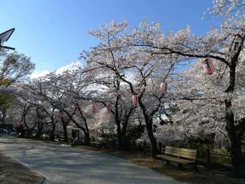 若泉公園の桜9.jpg