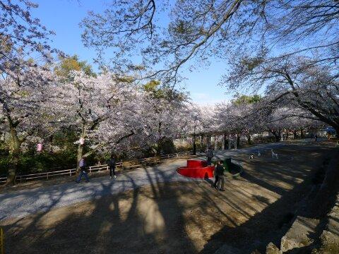 若泉公園の桜92.jpg