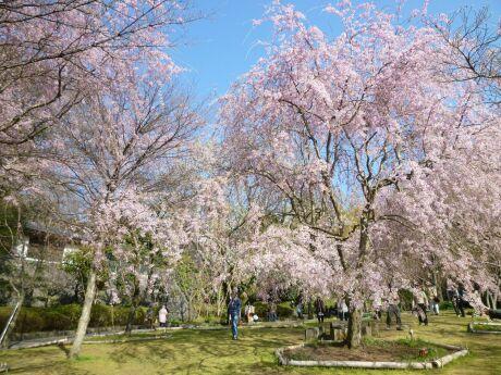 荒井城趾公園の桜2.jpg