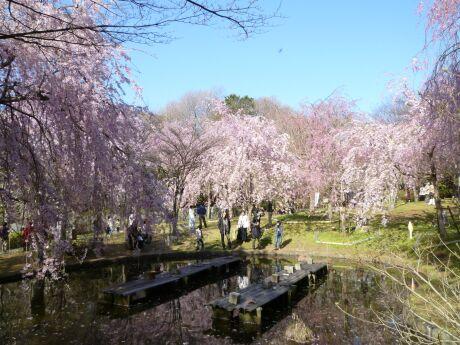 荒井城趾公園の桜3.jpg