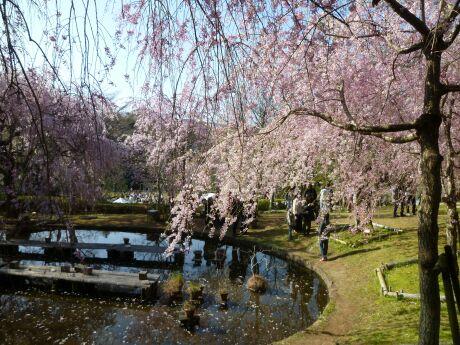 荒井城趾公園の桜4.jpg