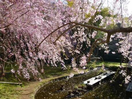 荒井城趾公園の桜5.jpg