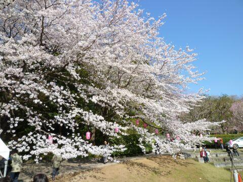 荒井城趾公園の桜1.jpg
