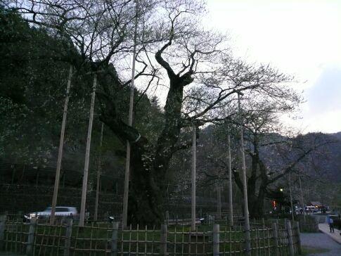 荘川桜2007.jpg