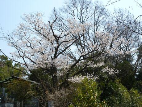 菊池神社 桜2.jpg