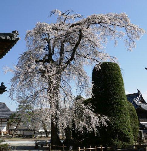 蕃松院 枝垂れ桜2.jpg
