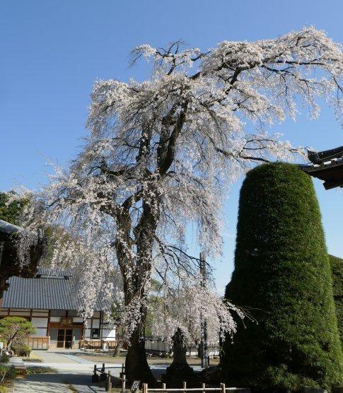 蕃松院 枝垂れ桜3.jpg