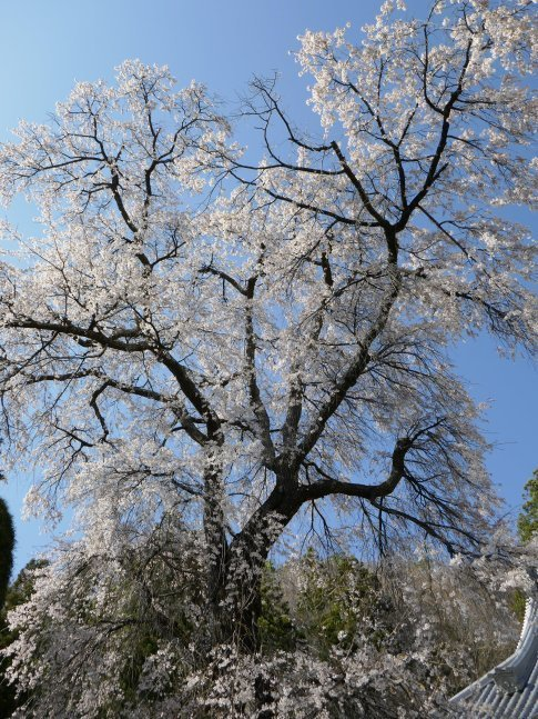 蕃松院 枝垂れ桜4.jpg
