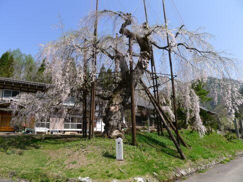 西光寺の枝垂れ桜.jpg