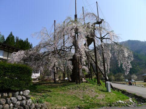 西光寺の枝垂れ桜2.jpg