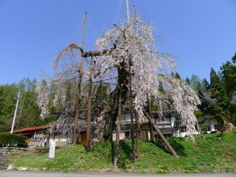 西光寺の枝垂れ桜3.jpg