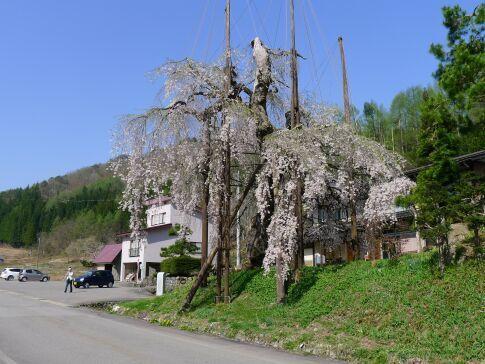 西光寺の枝垂れ桜4.jpg