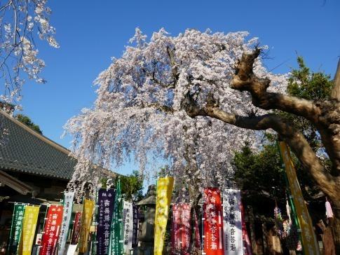 西光寺の桜2.jpg