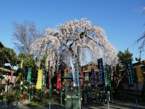 西光寺の桜4.jpg