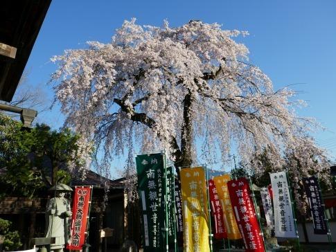 西光寺の桜5.jpg