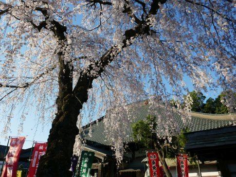西光寺の桜6.jpg
