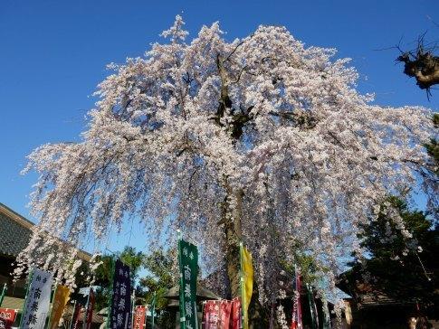 西光寺の桜7.jpg