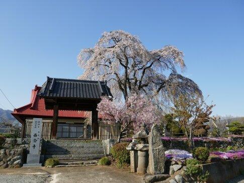 西念寺の枝垂れ桜.jpg