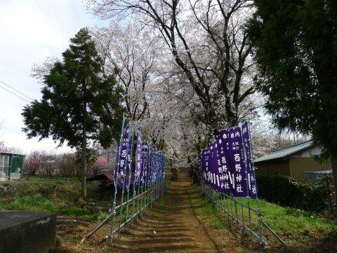 西野神社の桜2.jpg