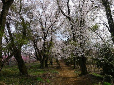 西野神社の桜3.jpg