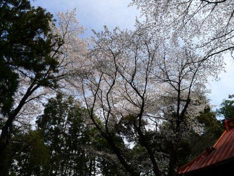 西野神社の桜5.jpg