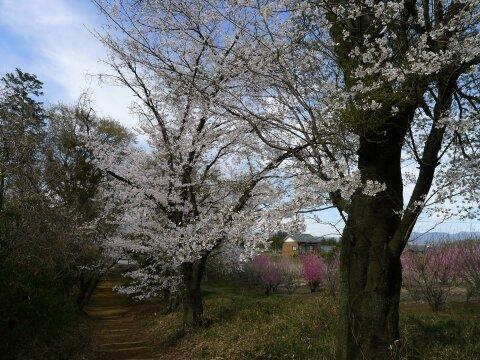 西野神社の桜6.jpg