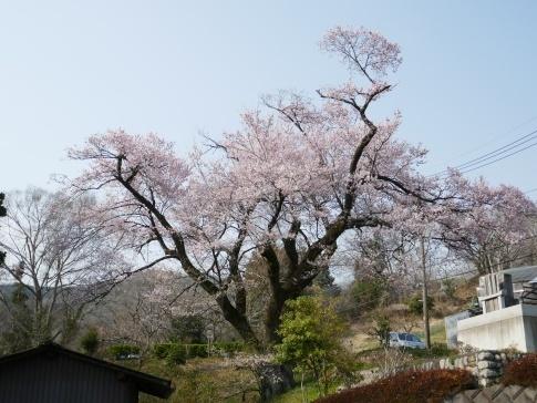 観福寺の桜.jpg