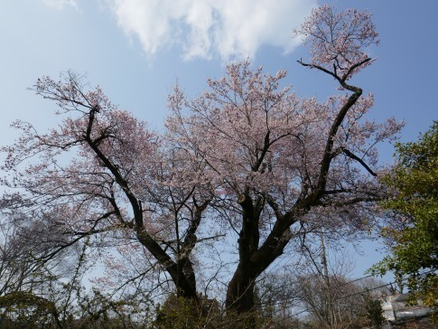 観福寺の桜2.jpg