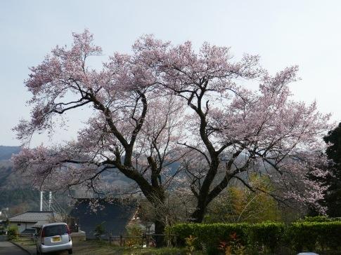 観福寺の桜3.jpg