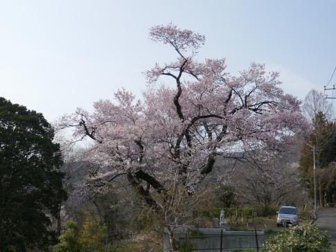 観福寺の桜4.jpg